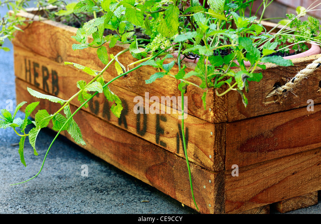 Herb garden. Rustic wooden crate for potted herbs. - Stock Image