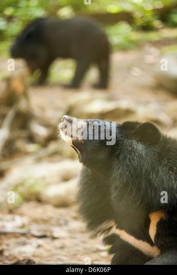 Moon Bear Sanctuary, Luang Prabang, Laos, Indochina, Southeast Asia, Asia - Stock Image