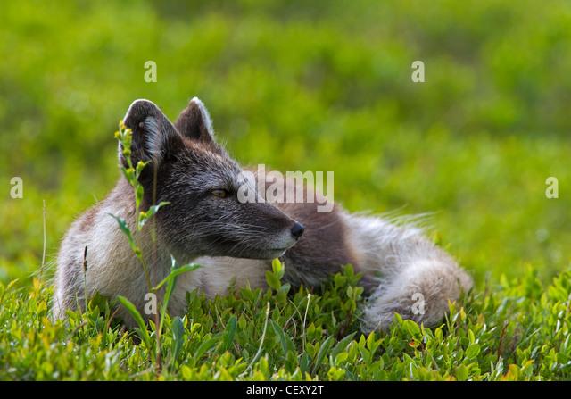 Tundra Arctic Fox In Summer Arctic Tundra A...