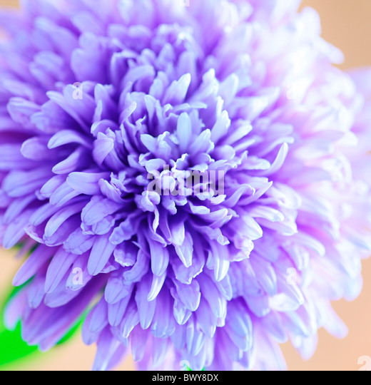 gorgeous soft focus lilac blue aster in full bloom Jane-Ann Butler Photography JABP867 - Stock Image