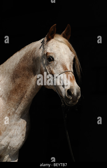 AraAppaloosa Horse (Equus caballus). Portrait of a stallion. This breed is a blend of Arabian and Appaloosa. - Stock Image
