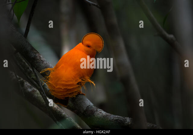 A brightly colored male Guianan Cock-of-the-rock displaying on a lek in the forest interior - Stock Image