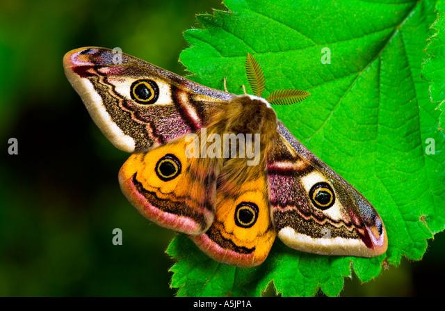 Emperor Moth Pavonia pavonia at rest on bramble leaf potton bedfordshire - Stock-Bilder