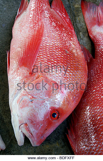 red snapper named Bourgeois on Victoria's market - Mahé - Seychelles - Stock Image