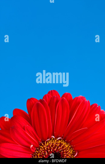 Detail of half of a red Gerber Daisy with blue sky backdrop - Stock Image