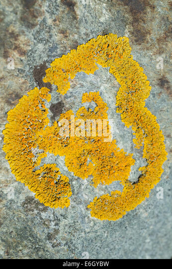 Common Orange Lichen (Xanthoria parietina) on a rock Slapton Ley NNR Devon UK Europe August - Stock Image