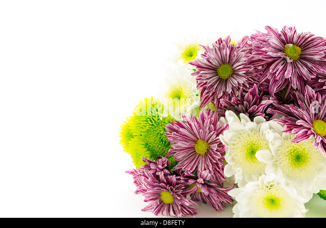 Red striped,green and white chrysanthemum flowers on a white background. - Stock Image