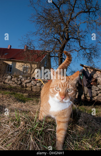 Red cat on a stone wall - Stock Image