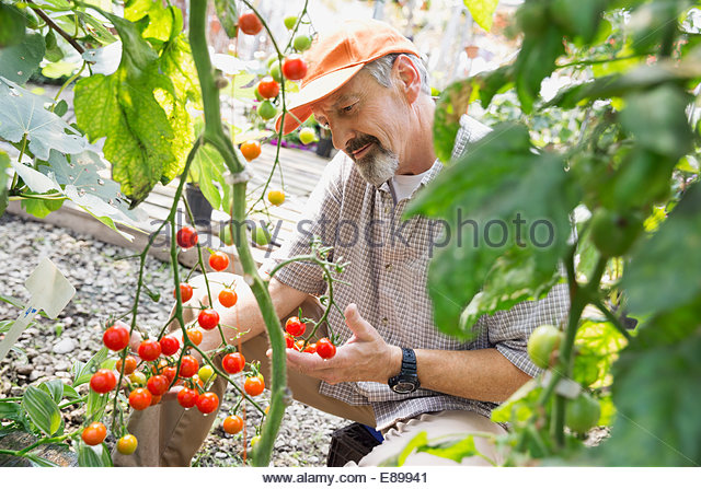 Worker examining tomatoes in plant nursery - Stock Image