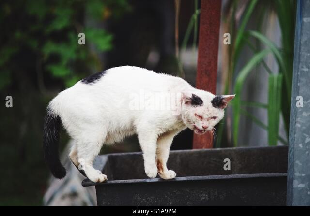 The cat is having ringworm on the his face standing on the useless water tank at the outdoor - Stock Image