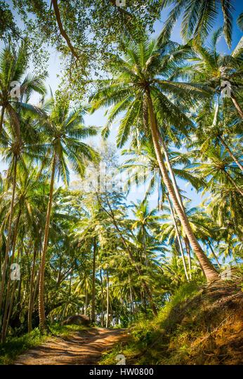 Beautiful green Palm trees in Phuket- Thailand - Stock Image