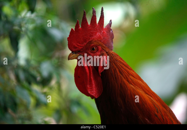 Closeup of the side view face of a Cock  or Rooster or cockerel or male chicken showing wattles earlobes comb - Stock Image