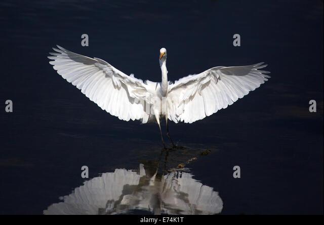 Eastern reef egret, Lara VIC Australia - Stock Image