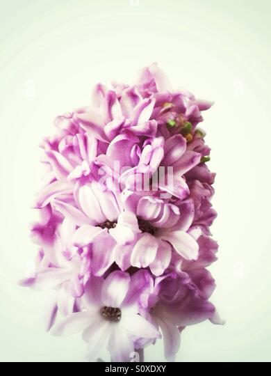 Pink hyacinth flowers - Stock Image