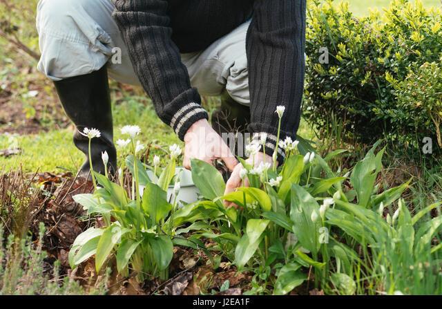 Gardener harvesting fresh wild garlic leaves - Stock Image