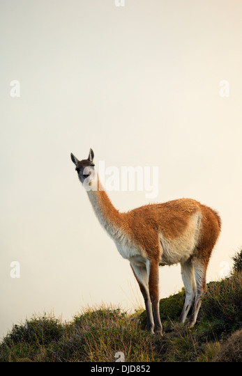 Guanaco(Lama guanicoe) standing on the hillside amongst the mist.Patagonia.Chile - Stock Image