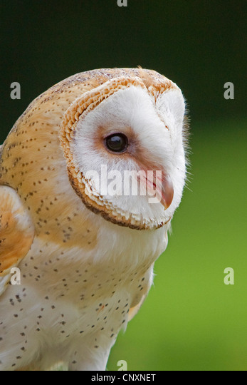barn owl (Tyto alba), portrait, Germany, Bavaria - Stock Image