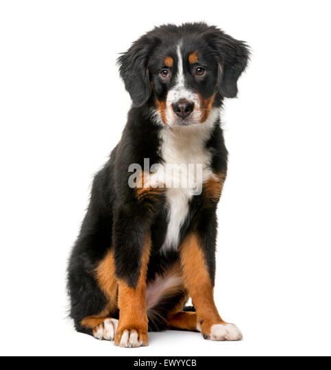 Bernese Mountain Dog puppy (5 months old) in front of a white background - Stock Image