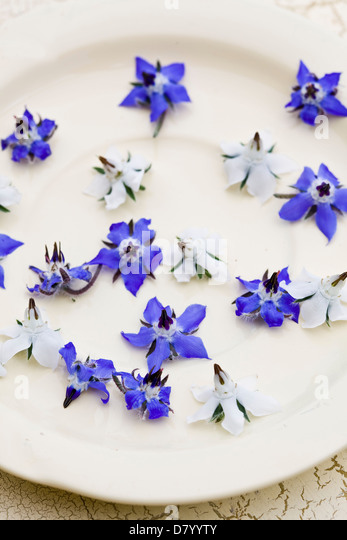 Blue and white edible borage flowers on a white plate. - Stock Image