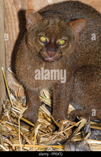 Jaguarundi (Puma yagouaroundi). Grey phase. Shy reclusive small cat, found in Central, much of South America east - Stock Image