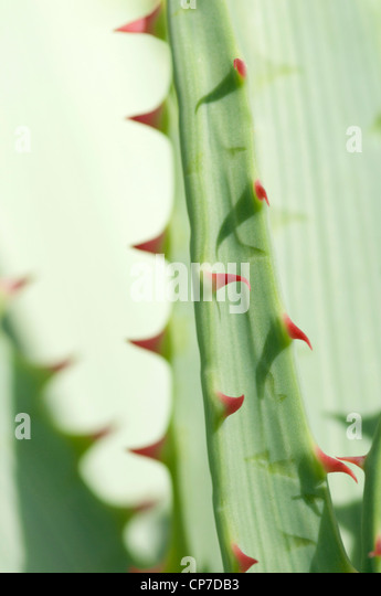 Aloe glauca, Aloe, Blue aloe, Green. - Stock Image