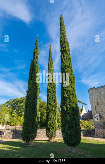 Three pointed trees, Chateau Chinon, France. - Stock Image