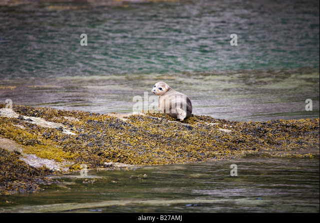 Atlantic grey seal near Ullapool, Scotland - Stock Image