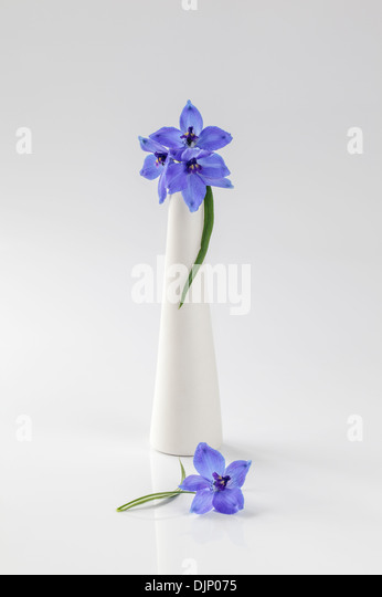 Blue delphiniums in white vase - Stock Image