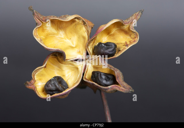 Paeonia cultivar, Peony, Brown, Grey. - Stock Image