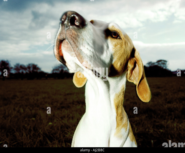 pointer dog looking towards sky - Stock Image