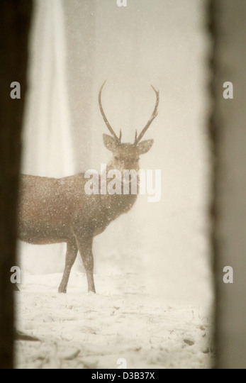 Red deer in snow - Stock Image