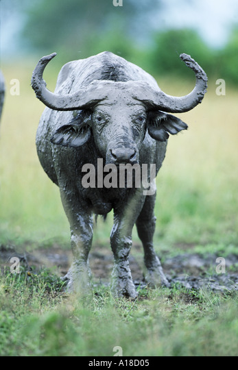 African buffalo covered with mud Queen Elizabeth Park Uganda - Stock Image