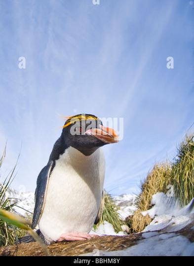 Macaroni Penguin Eudyptes chrysolophus Cooper Bay South Georgia November - Stock Image
