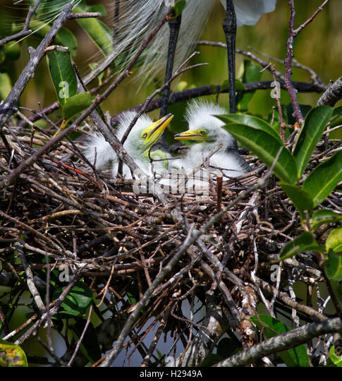 Sibling White Egrets at one week of age look about their pond apple nest of twigs with awareness of a parent standing - Stock Image