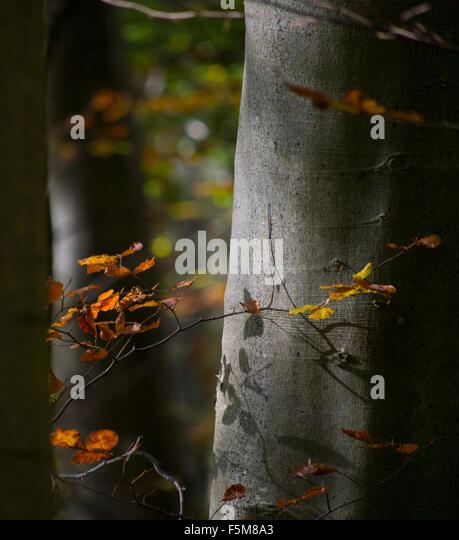 Autumn signs: Golden leaves against a beech tree in England - Stock Image