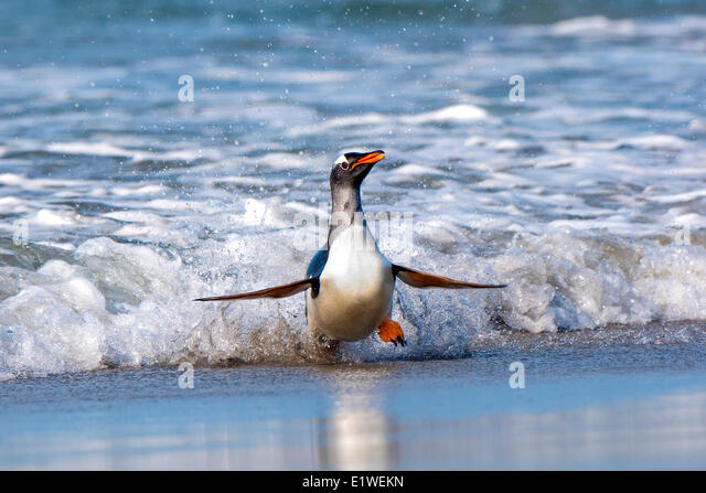 gentoo penguin (Pygoscelis papua) returning from foraging at sea, Falkland Islands, Southern Atlantic ocean - Stock Image