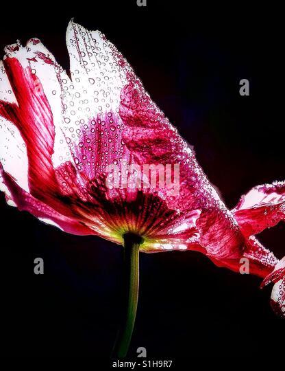 Faded poppy with dew - Stock-Bilder