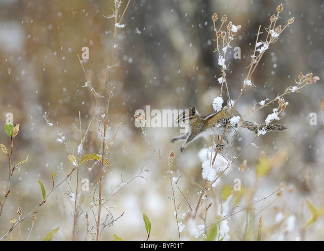 Least Chipmunk jumping stalks in low bushes during snowstorm. - Stock Image
