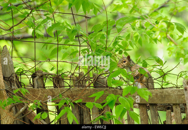 Gray squirrel peering through branches while sitting on fence - Stock Image