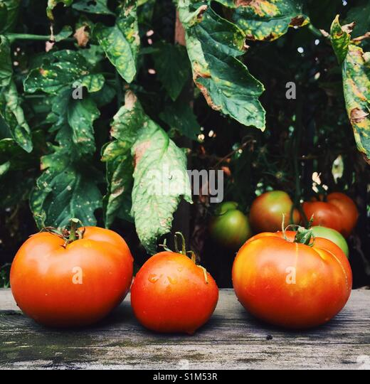 Three freshly picked garden tomatoes on a wooden ledge in front of a tomato plant - Stock Image