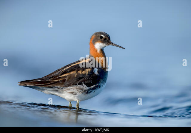 Red-necked Phalarope - Stock Image