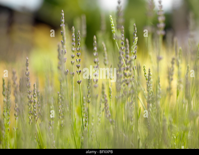 Meadow With Purple Flowers - Stock Image