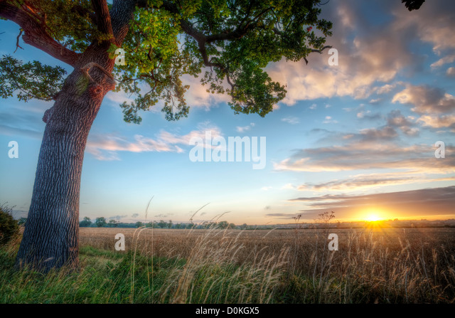 Sunrise over a rural field with a great oak tree. - Stock Image