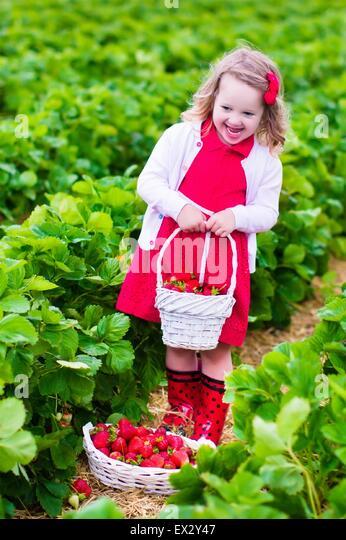 Child picking strawberries. Kids pick fresh fruit on organic strawberry farm. Children gardening and harvesting. - Stock Image