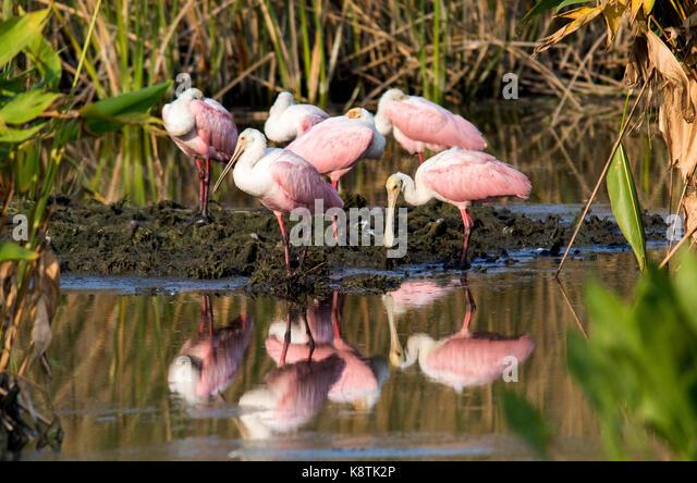 Flock of colorful Roseate Spoonbills (Platalea ajaja) at Green Cay Wetlands, Boynton Beach, Florida USA - Stock Image