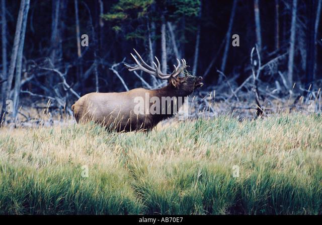A large bull elk wapiti Cervus canadensis bugles in Yellowstone National Park Wyoming COPYRIGHT DUANE BURLESON - Stock Image