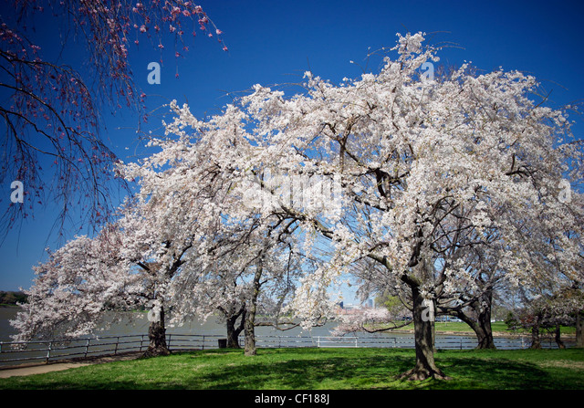 Blooming Japanese cherry blossom trees on the east bank of the Potomac River, Washington, DC. - Stock Image