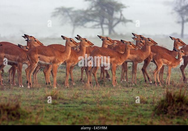 Impala herd (Aepyceros melampus) huddled together in the rain, Masai Mara National Reserve, Kenya. April - Stock Image