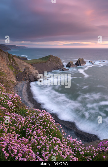 Thrift flowering on the cliff tops above Hartland Quay at sunset, North Devon, England. Spring (June) 2013. - Stock Image