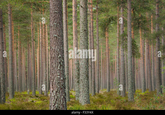 pine trees on the Balmoral Estate, Deeside, Aberdeenshire, Scotland, UK - Stock Image